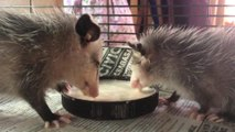 Opossums Lap Up a Bowlful of Formula With Relish