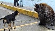 Des chiens viennent embeter 2 lions de mer... Courageux.