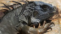The Purge Has Begun For Florida Iguanas