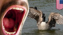 Denver to kill wild geese, donate meat to the needy