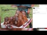 Alcalde en EU compara a los Obama con 'orangutanes'