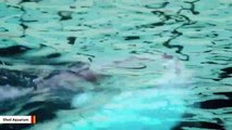 Baby Beluga Playfully Swims With Mother