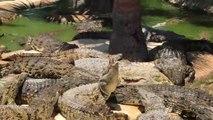 Un Crocodile fait la prise du deathroll sur un autre crocodile