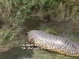 Regardez la taille de cet anaconda trouvé au brésil en pleine digestion