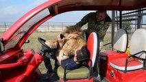 Ce gros lion est très calin et grimpe dans la voiture