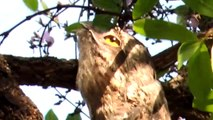 Cet oiseau bizarre est le roi du camouflage : Urutau