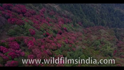 Most beautiful Himalayan flower vista you ever saw: Rhododendrons as far as the eye can see!