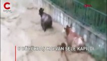 8 Büyükbaş hayvan sele kapıldı