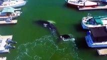 Une baleine vient jouer dans un port et c'est magnifique