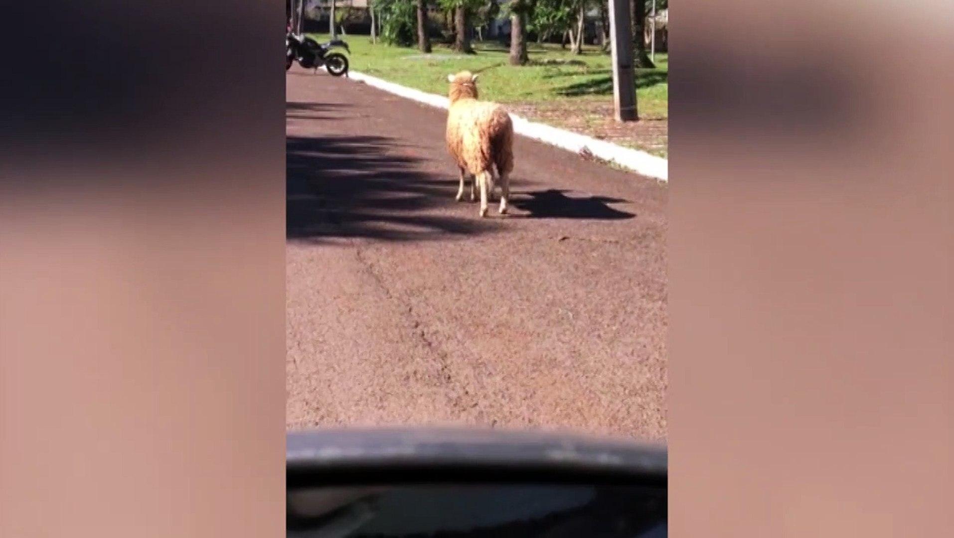 'Passeio' de ovelha no Country chama a atenção de morador