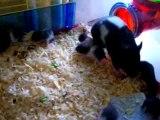 bebes hamsters en vadrouille