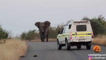 Un éléphant montre à une meute de lycaons qui est le chef