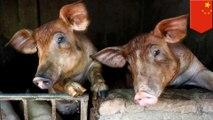 An explainer on African swine fever