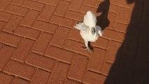 Wach-Vogel: Dieser Kakadu bellt wie ein Hund