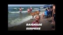 Aux États-Unis, ce cerf s'offre une baignade avec les vacanciers