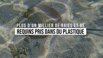 Plus d'un millier de raies et de requins pris dans du plastique