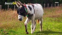 Donkey Blinded By Freak Accident is Given Special Sunglasses to Heal
