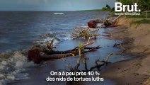 En Guyane, le combat de scientifiques pour sauver la plus grosse tortue au monde