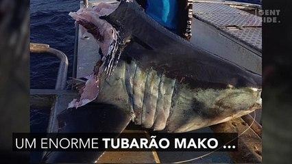 O mistério do enorme tubarão encontrado sem cabeça
