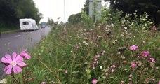Au Royaume-Uni, des villes ont décidé de ne plus tondre leurs bords de route pour laisser la nature reprendre ses droits