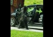 Cet ours ouvre une portière de voiture comme un humain pour entrer à l'intérieur