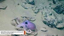 Deep-Sea Expedition Captures 'Warty Octopus' On Camera