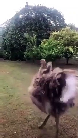 Ostrich skatting out in the garden in the rain