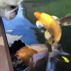 Lorsqu'un bulldog fait des bisous à un poisson, voici ce que ça donne !
