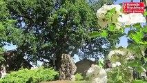 VIDEO. Vienne : A 800 ans, ce chêne devient arbre remarquable