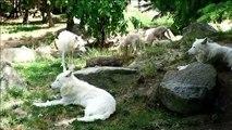 Mandrill, louveteaux... naissances en série au zoo d'Amnéville