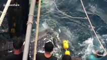 Heartwarming moment three trapped whale sharks are released from fishing trawler's net