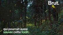Un sanctuaire de lucioles pourrait sauver de la déforestation une forêt mexicaine
