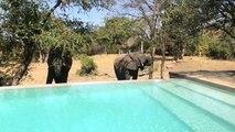 Ces éléphants viennent boire dans la piscine en pleine savane !