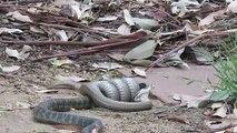 L'incroyable combat entre un serpent brun et un serpent tigre