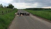 Elle promène ses 25 chiens et les mène à la baguette... Efficace