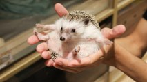Hong Kong's first hedgehog cafe shows the prickly critters may not be the best play pals