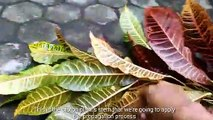 EASy Gardening || How to Grow Croton Plants From Stem Cuttings!!