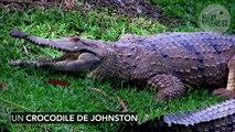 Un python avale un crocodile