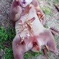 Regardez le seul Panda brun au monde. Splendide !