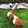Les cochons d'Inde rendent visite à bébé Livia. Trop chou !