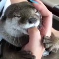 Ce bébé loutre adore sucer le doigt de sa maîtresse. Trop cute !