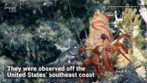 Watch: Scientists Spot 'Ravioli' Sea Star in Atlantic Ocean