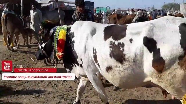 HEAVY BEAUTIES SAHIWAL BULL - Sahiwal Cow in Lahore Bakra