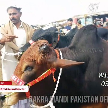 Sale and Purchase of Bachra and Katto Maal in Lahore Bakra Mandi 2018