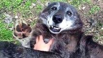 En fait un loup c'est juste un gros chien... Adorable