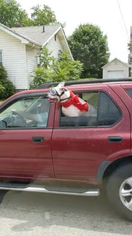 Dog with Goggles and Scarf Rides in Backseat of Car