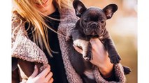 French Bulldog Puppy For Sale - Facts About French Bulldogs That Make Them Unique