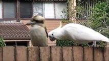 Un cacatoès taquine un kookaburra