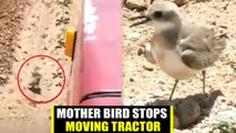 Mother bird stops moving tractor to protect eggs
