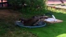 Sıcaktan bunalan 'Akila' adındaki kartal suda serinledi